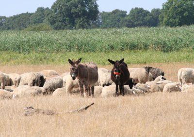 Auch Esel können den Herdenschutz wertvoll ergänzen.