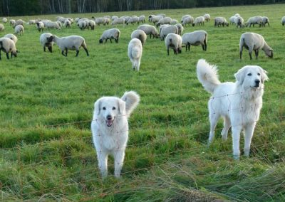 Komplett geschlossene Elektrozäune und gut ausgebildete Herdenschutzhunde sind effiziente Schutzmaßnahmen.