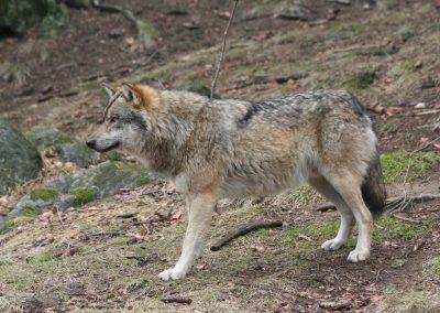 Typischer Habitus eines Wolfes