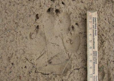 Wolfsdoppeltritt - der Abdruck des kleineren Hinterfußes ist genau im Vorderfußabdruck